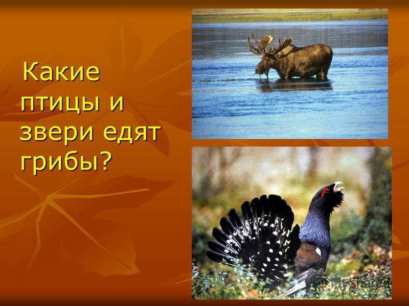 Какие птицы и звери едят грибы? Какие птицы и звери едят грибы?