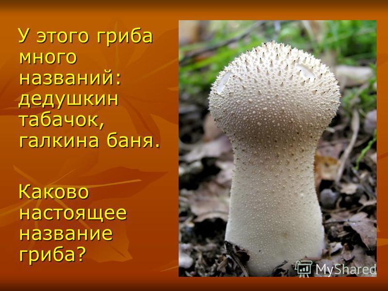 У этого гриба много названий: дедушкин табачок, галкина баня. У этого гриба много названий: дедушкин табачок, галкина баня. Каково настоящее название гриба? Каково настоящее название гриба?
