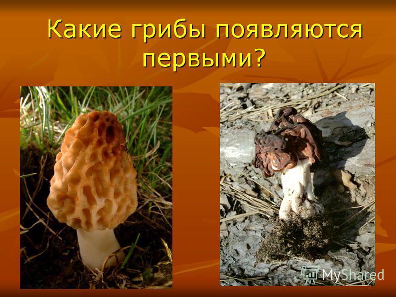 Какие грибы появляются первыми? Какие грибы появляются первыми?
