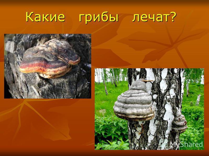 Какие грибы лечат? Какие грибы лечат?