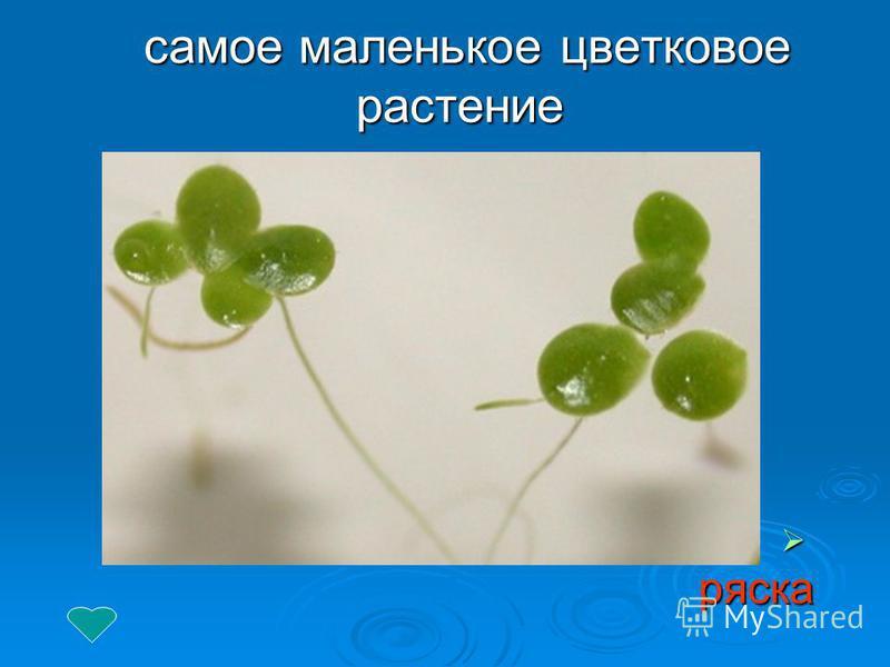 самое маленькое цветковое растение самое маленькое цветковое растение ряска ряска