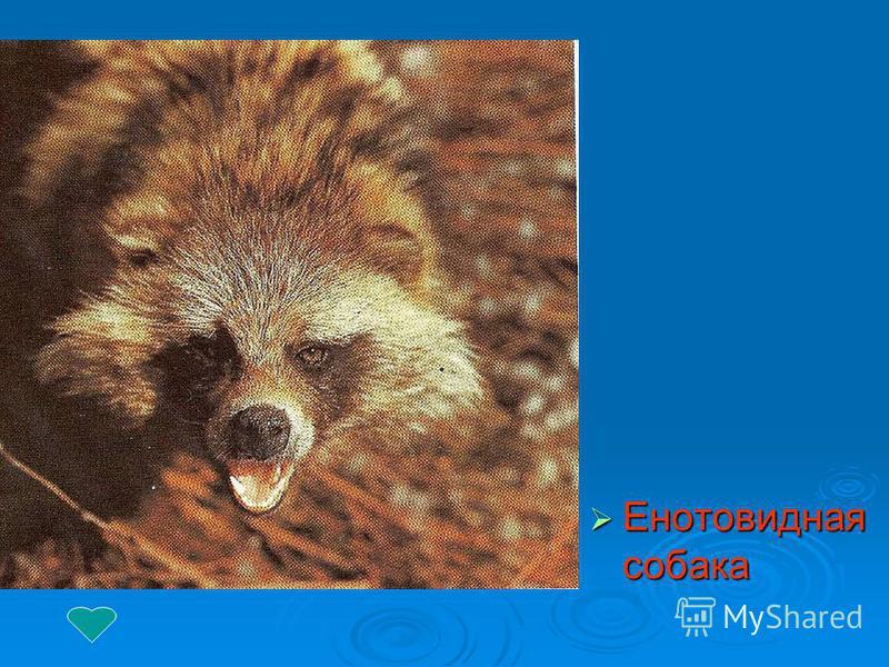 Енотовидная собака Енотовидная собака