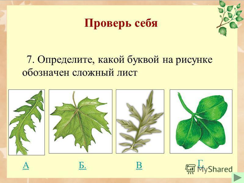 Проверь себя 7. Определите, какой буквой на рисунке обозначен сложный лист Б. ВА Г.