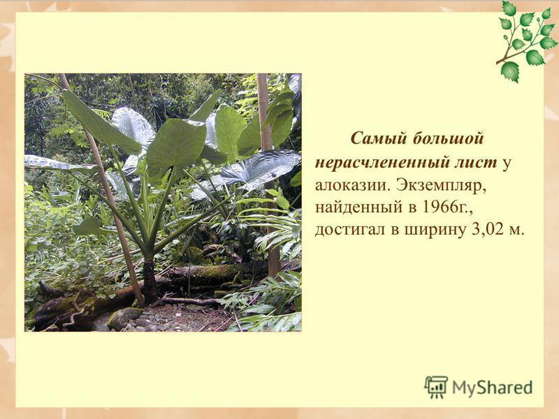 Самый большой нерасчлененный лист у алоказии. Экземпляр, найденный в 1966 г., достигал в ширину 3,02 м.