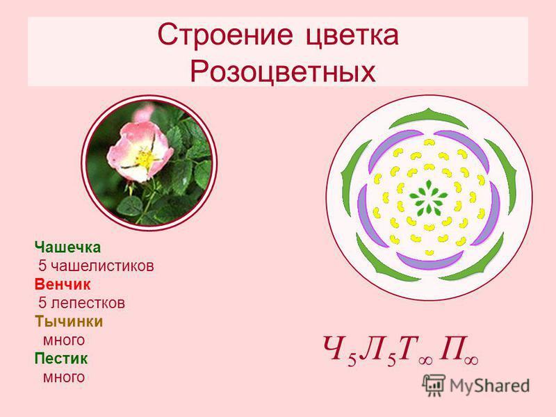 Строение цветка Розоцветных Чашечка 5 чашелистиков Венчик 5 лепестков Тычинки много Пестик много П Т 5 Л 5 Ч