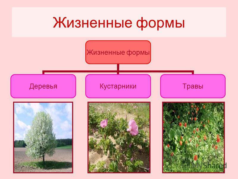 Жизненные формы Деревья КустарникиТравы