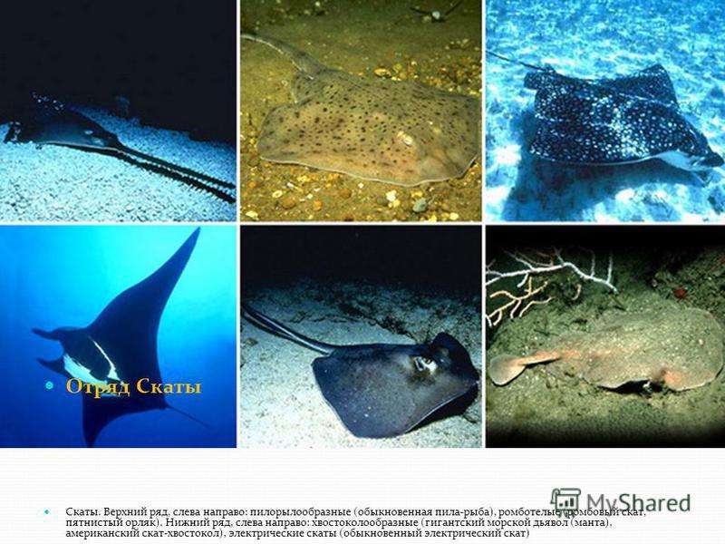 Отряд Скаты Скаты. Верхний ряд, слева направо: пилорылообразные (обыкновенная пила-рыба), ромботелые (ромбовый скат, пятнистый орляк). Нижний ряд, слева направо: хвостоколообразные (гигантский морской дьявол (манта), американский скат-хвостокол), эле