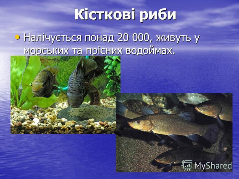 Кісткові риби Кісткові риби Налічується понад 20 000, живуть у морських та прісних водоймах. Налічується понад 20 000, живуть у морських та прісних водоймах.