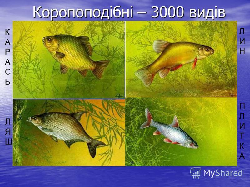 Коропоподібні – 3000 видів Коропоподібні – 3000 видів ЛИНПЛИТКАЛИНПЛИТКА КАРАСЬЛЯЩКАРАСЬЛЯЩ
