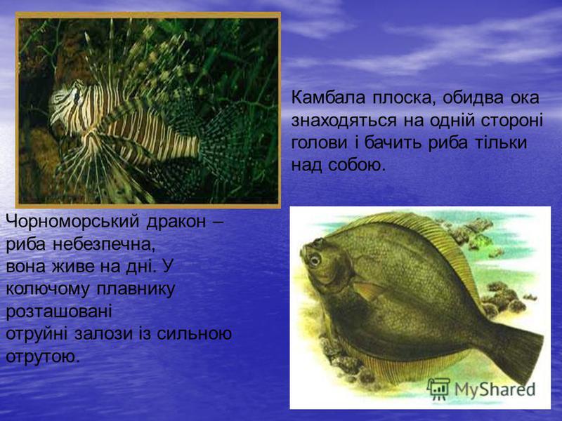Чорноморський дракон – риба небезпечна, вона живе на дні. У колючому плавнику розташовані отруйні залози із сильною отрутою. Камбала плоска, обидва ока знаходяться на одній стороні голови і бачить риба тільки над собою.