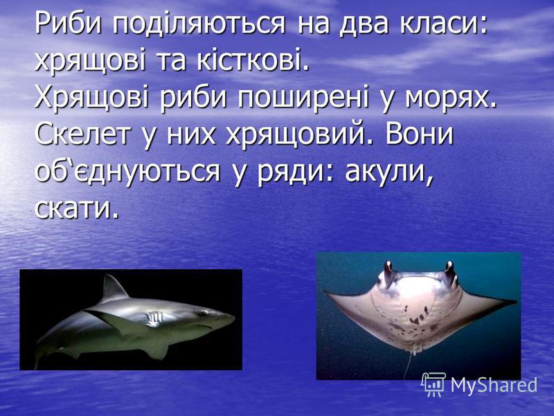 Риби поділяються на два класи: хрящові та кісткові. Хрящові риби поширені у морях. Скелет у них хрящовий. Вони обєднуються у ряди: акули, скати.