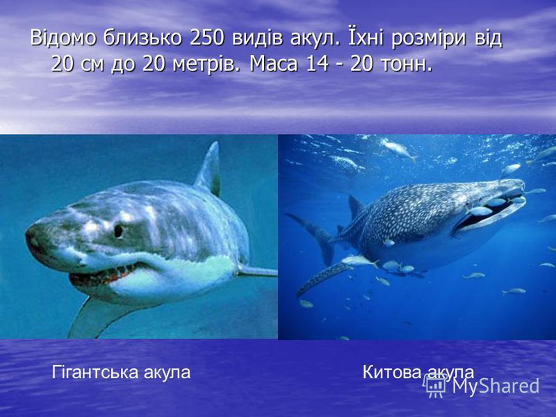 Відомо близько 250 видів акул. Їхні розміри від 20 см до 20 метрів. Маса 14 - 20 тонн. Гігантська акулаКитова акула