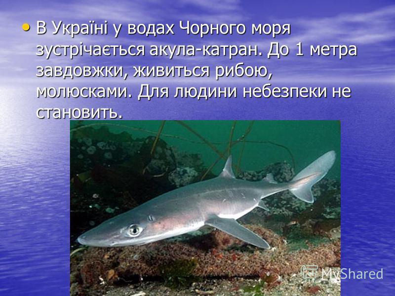 В Україні у водах Чорного моря зустрічається акула-катран. До 1 метра завдовжки, живиться рибою, молюсками. Для людини небезпеки не становить. В Україні у водах Чорного моря зустрічається акула-катран. До 1 метра завдовжки, живиться рибою, молюсками.