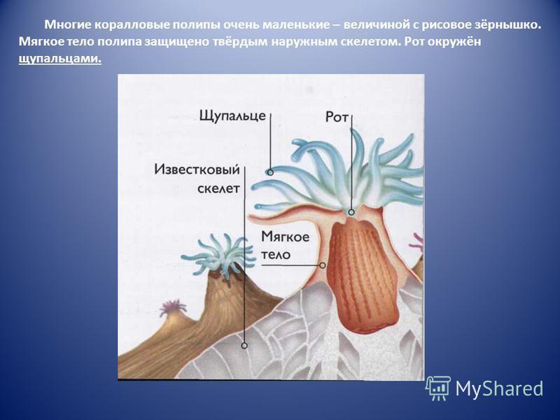 Многие коралловые полипы очень маленькие – величиной с рисовое зёрнышко. Мягкое тело полипа защищено твёрдым наружным скелетом. Рот окружён щупальцами.
