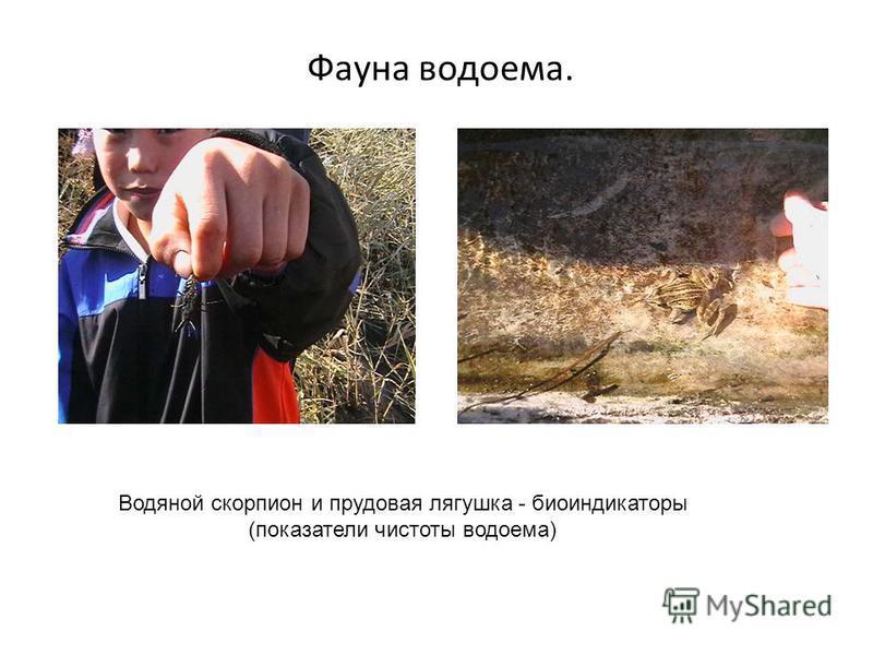 Фауна водоема. Водяной скорпион и прудовая лягушка - биоиндикаторы (показатели чистоты водоема)