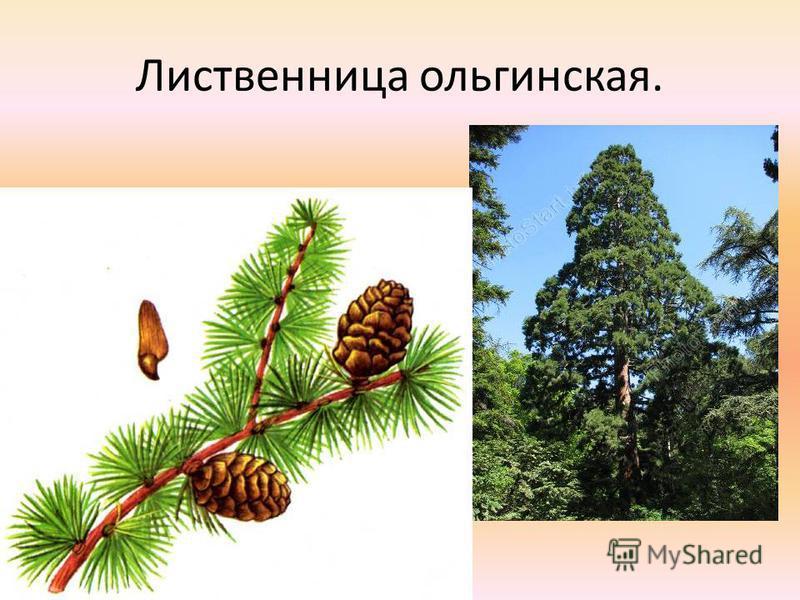Лиственница ольгинская.