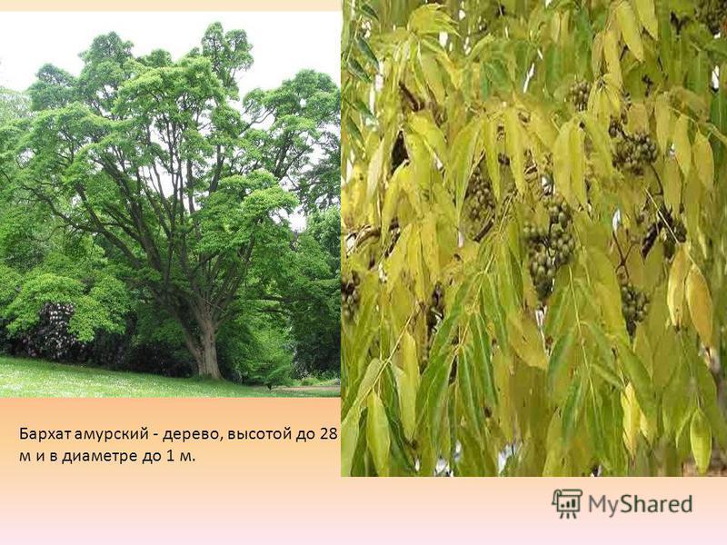 Бархат амурский - дерево, высотой до 28 м и в диаметре до 1 м.