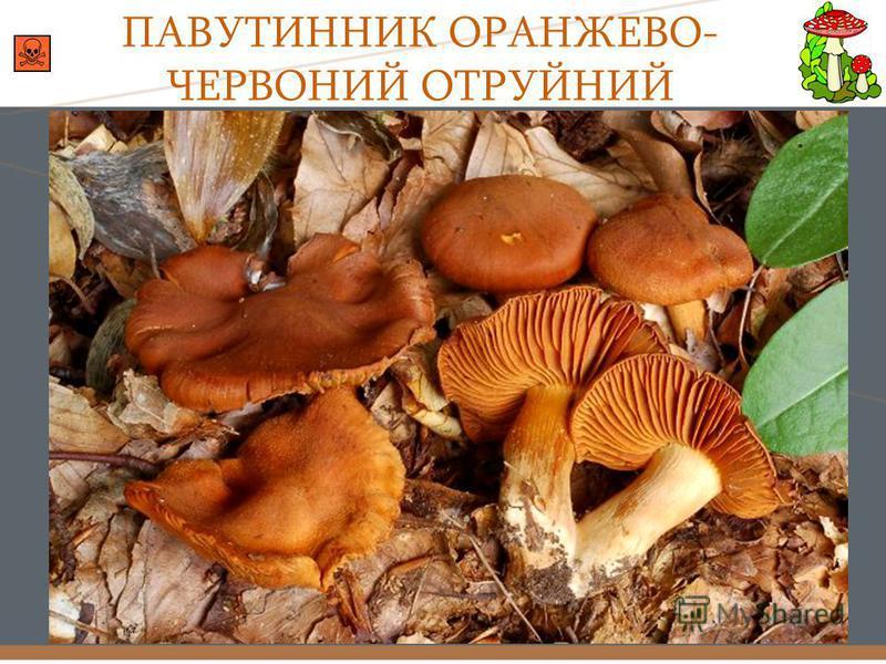ПАВУТИННИК ОРАНЖЕВО- ЧЕРВОНИЙ ОТРУЙНИЙ