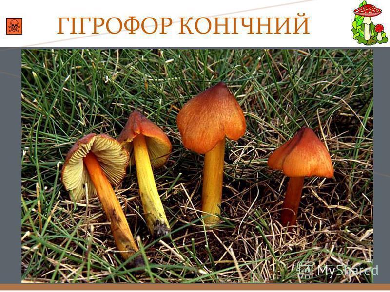 ГІГРОФОР КОНІЧНИЙ