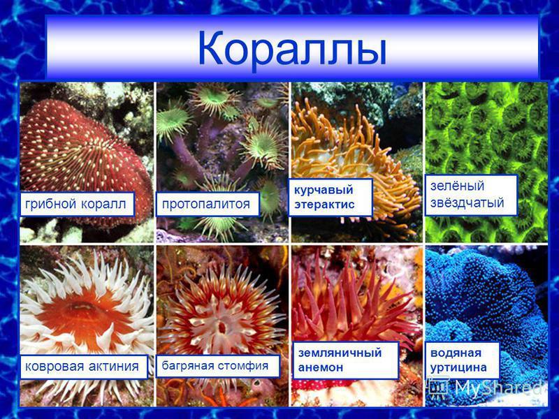 грибной кораллпротопалитоя курчавый этерактис зелёный звёздчатый ковровая актиния багряная стомфия земляничный анемон водяная уртицина Кораллы