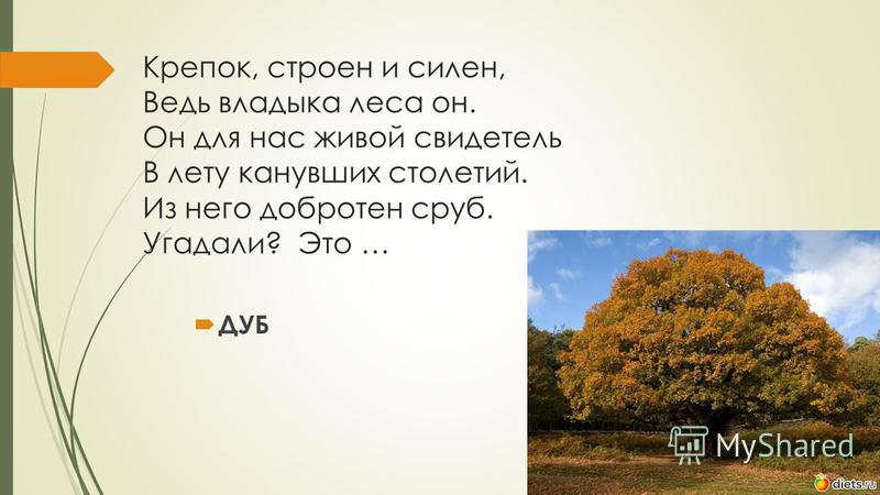 Крепок, строен и силен, Ведь владыка леса он. Он для нас живой свидетель В лету канувших столетий. Из него добротен сруб. Угадали? Это … ДУБ