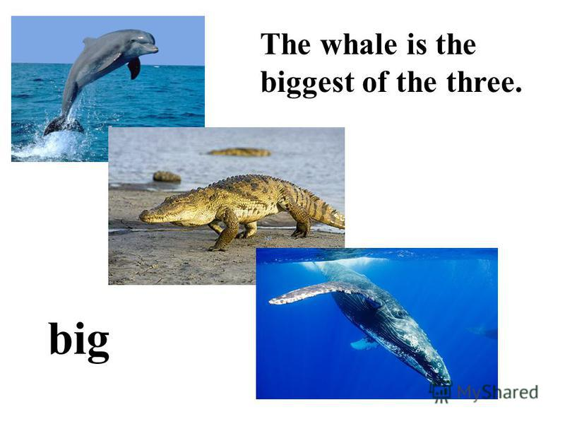 big The whale is the biggest of the three.