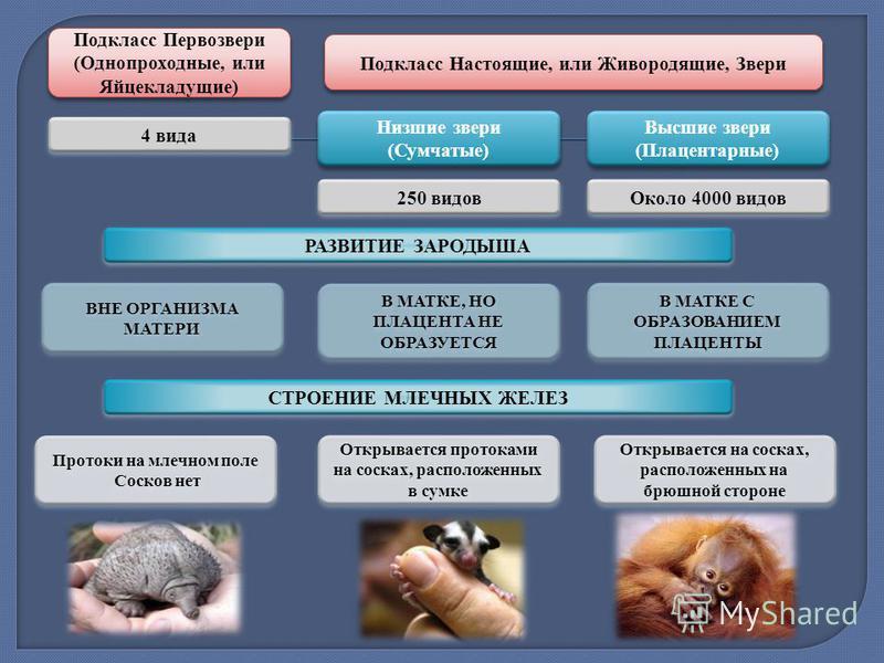 Подкласс Первозвери (Однопроходные, или Яйцекладущие) Подкласс Первозвери (Однопроходные, или Яйцекладущие) Низшие звери (Сумчатые) Низшие звери (Сумчатые) Высшие звери (Плацентарные) Высшие звери (Плацентарные) 4 вида 250 видов Около 4000 видов РАЗВ