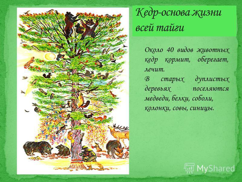 Около 40 видов животных кедр кормит, оберегает, лечит. В старых дуплистых деревьях поселяются медведи, белки, соболи, колонки, совы, синицы.