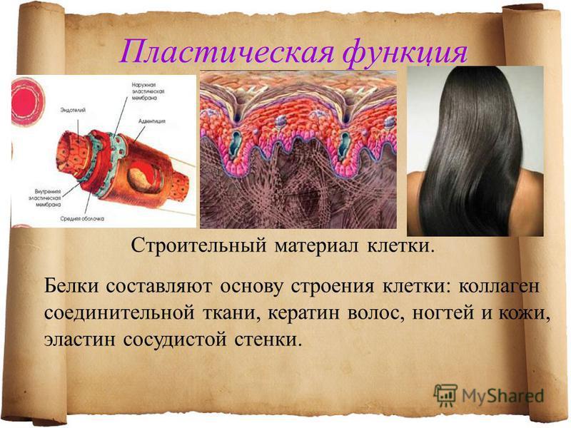 Пластическая функция Белки составляют основу строения клетки: коллаген соединительной ткани, кератин волос, ногтей и кожи, эластин сосудистой стенки. Строительный материал клетки.