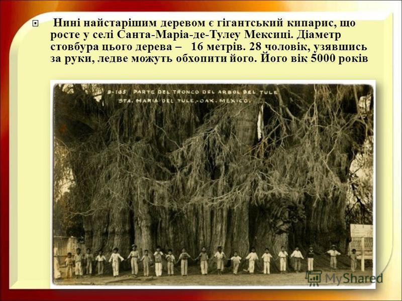 Нині найстарішим деревом є гігантський кипарис, що росте у селі Санта - Маріа - де - Тулеу Мексиці. Діаметр стовбура цього дерева – 16 метрів. 28 чоловік, узявшись за руки, ледве можуть обхопити його. Його вік 5000 років