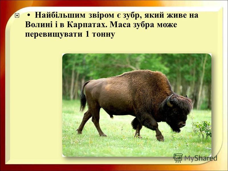 Найбільшим звіром є зубр, який живе на Волині і в Карпатах. Маса зубра може перевищувати 1 тонну