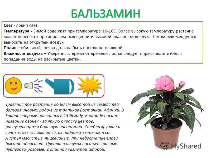 БАЛЬЗАМИН Свет - яркий свет Температура - Зимой содержат при температуре 10-16С. Более высокую температуру растение может перенести при хорошем освещении и высокой влажности воздуха. Летом рекомендуется выносить на открытый воздух. Полив – обильный,