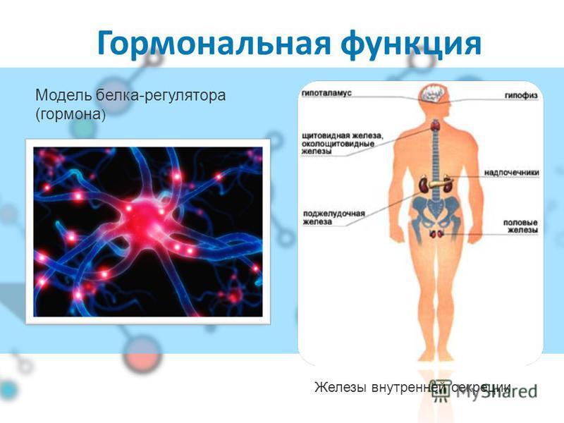Структурная функция Белки составляют основу строения клетки Гидролизованный коллаген (белок соединительной ткани)