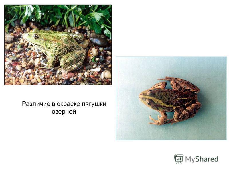 Различие в окраске лягушки озерной