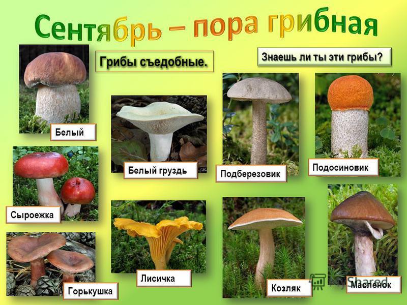 Знаешь ли ты эти грибы? Подосиновик Белый груздь Белый Горькушка Масленок Лисичка Козляк Подберезовик Сыроежка