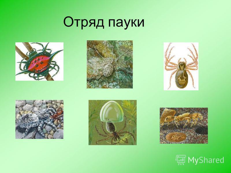Класс паукообразные Отряд пауки Отряд клещи Отряд сенокосцы Отряд скорпионы