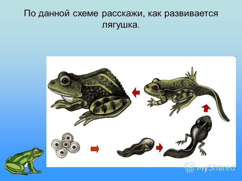 По данной схеме расскажи, как развивается лягушка.