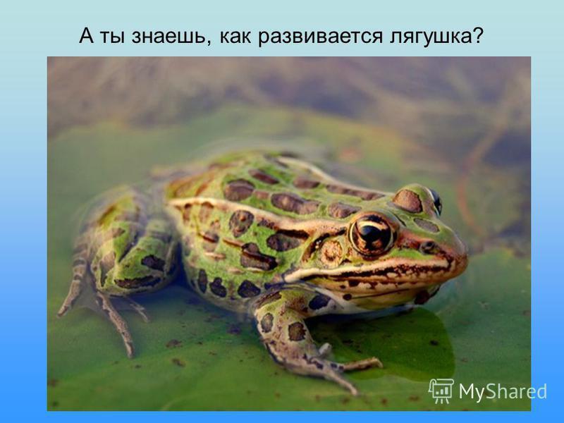 А ты знаешь, как развивается лягушка?