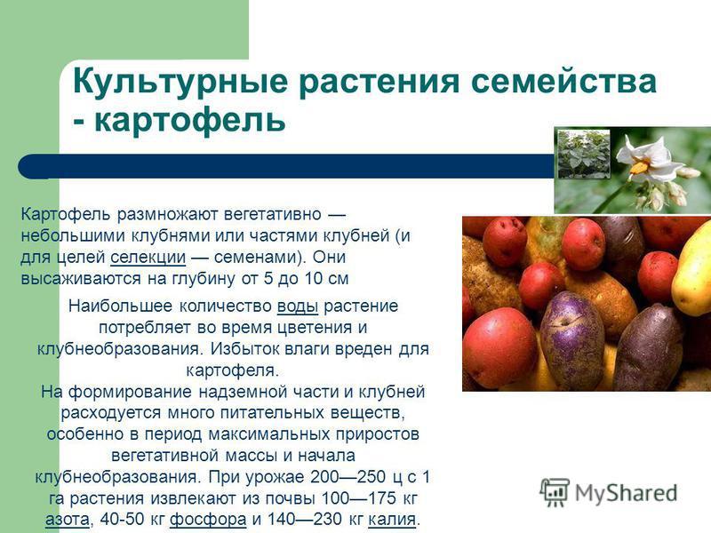 Культурные растения семейства - картофель Картофель размножают вегетативно небольшими клубнями или частями клубней (и для целей селекции семенами). Они высаживаются на глубину от 5 до 10 см селекции Наибольшее количество воды растение потребляет во в