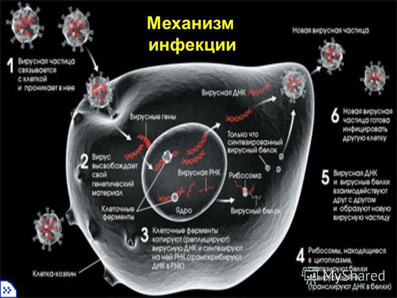 Механизм инфекции