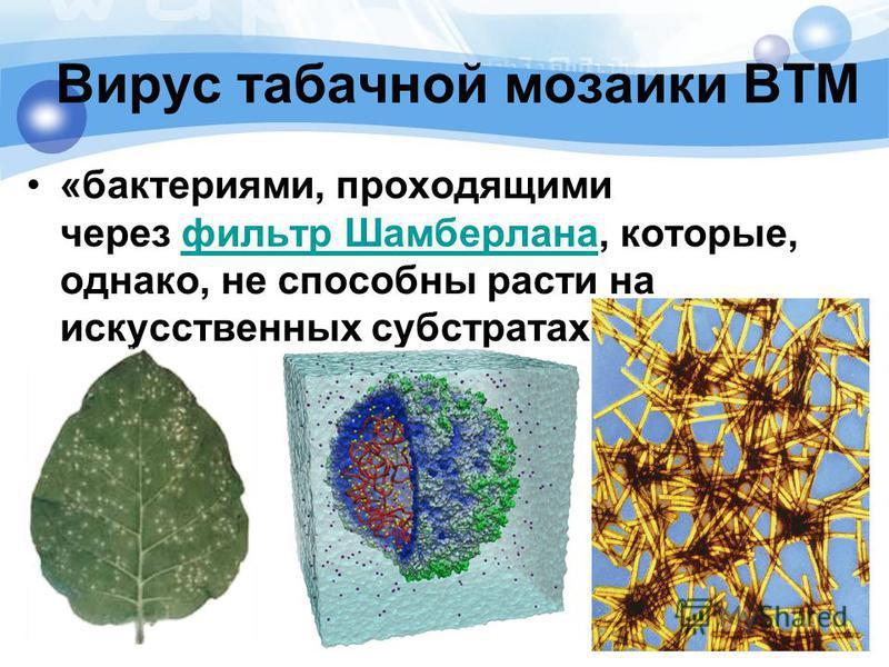 Вирус табачной мозаики ВТМ «бактериями, проходящими через фильтр Шамберлана, которые, однако, не способны расти на искусственных субстратах»фильтр Шамберлана