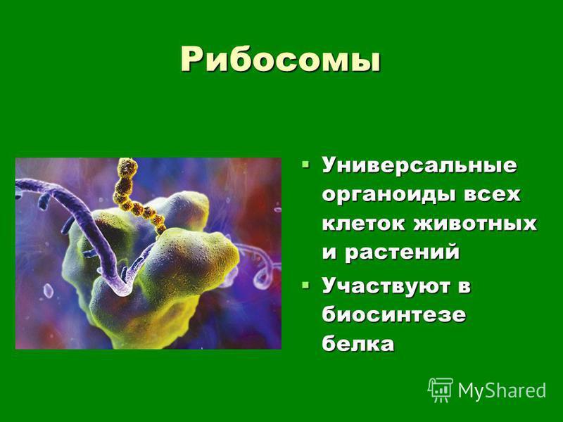 Рибосомы Универсальные органоиды всех клеток животных и растений Универсальные органоиды всех клеток животных и растений Участвуют в биосинтезе белка Участвуют в биосинтезе белка