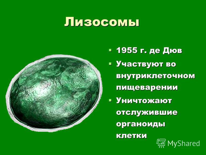 Лизосомы 1955 г. де Дюв 1955 г. де Дюв Участвуют во внутриклеточном пищеварении Участвуют во внутриклеточном пищеварении Уничтожают отслужившие органоиды клетки Уничтожают отслужившие органоиды клетки