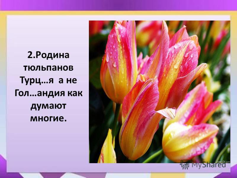 Презентация на тему Контрольный диктант по теме  Родина тюльпанов Турц я а не Гол андия как думают многие