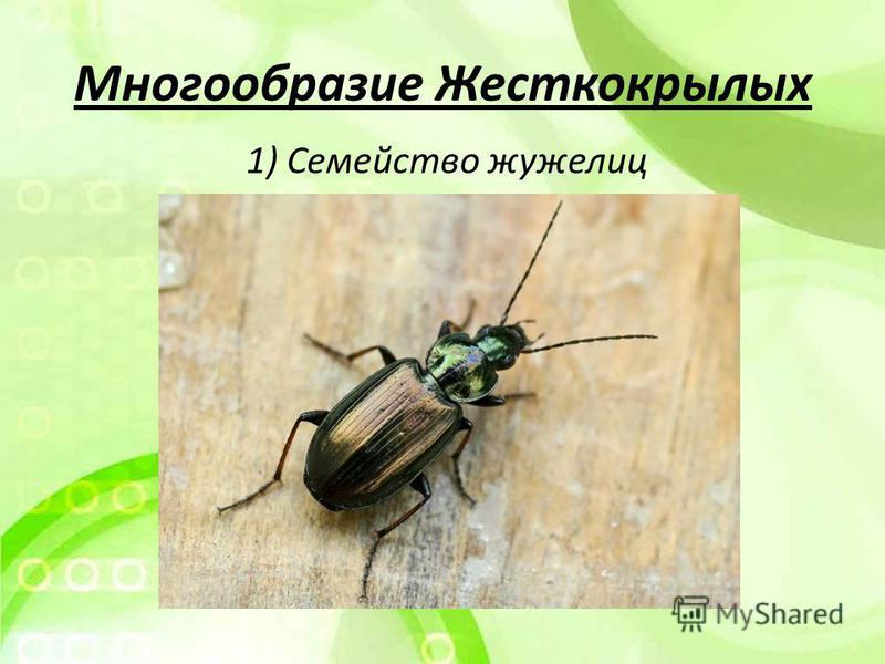 Многообразие Жесткокрылых 1) Семейство жужелиц