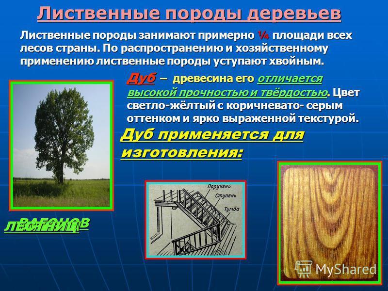 Лиственные породы деревьев Лиственные породы занимают примерно ¼ площади всех лесов страны. По распространению и хозяйственному применению лиственные породы уступают хвойным. Дуб – древесина его отличается высокой прочностью и твёрдостью. Цвет светло