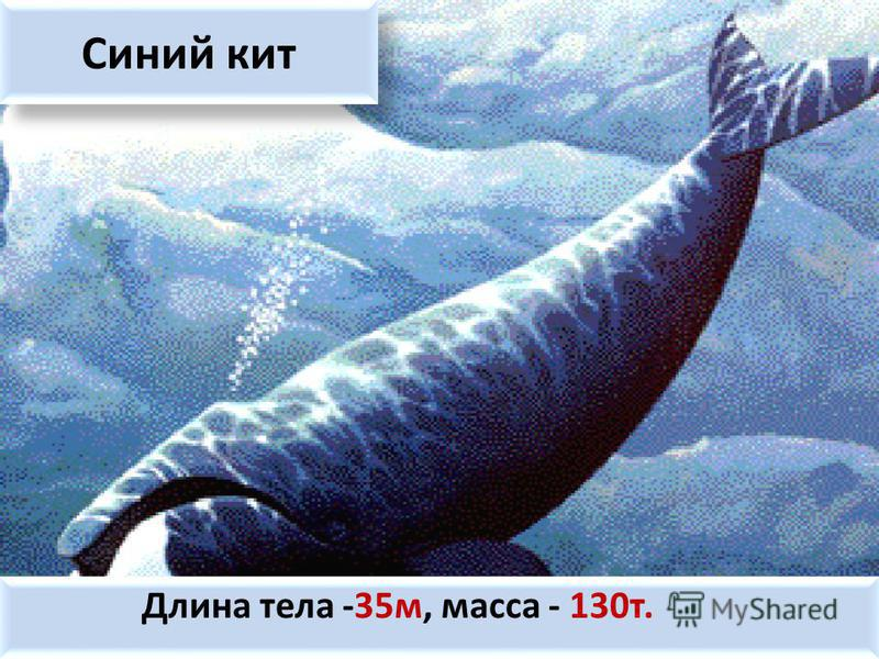 Синий кит Длина тела -35 м, масса - 130 т.