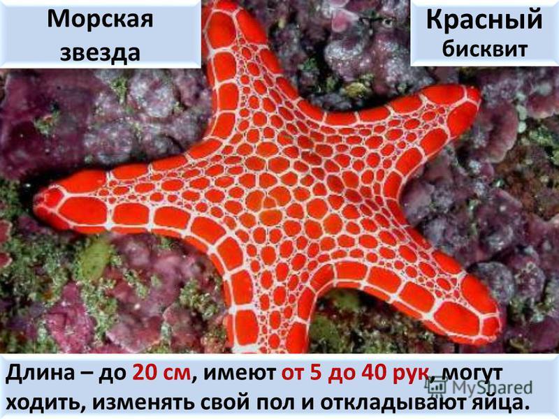 Морская звезда Красный бисквит Длина – до 20 см, имеют от 5 до 40 рук, могут ходить, изменять свой пол и откладывают яйца.