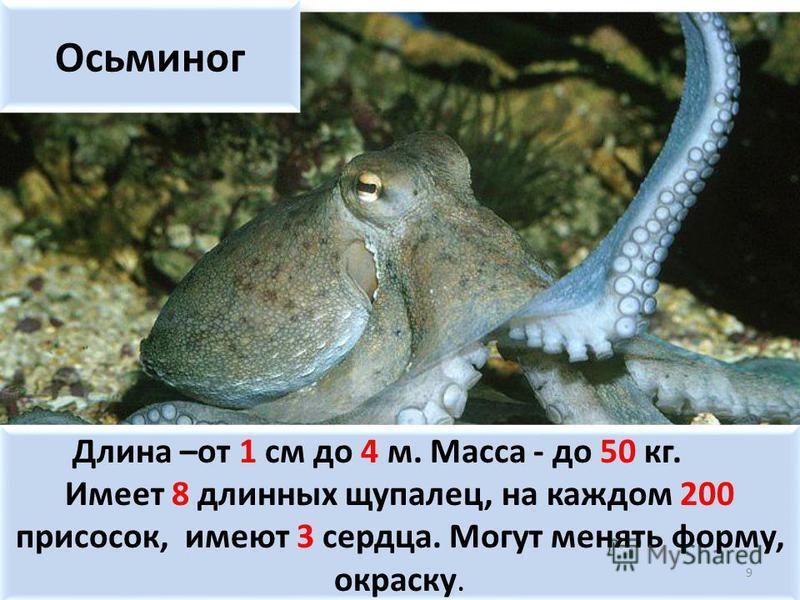 Осьминог Длина –от 1 см до 4 м. Масса - до 50 кг. Имеет 8 длинных щупалец, на каждом 200 присосок, имеют 3 сердца. Могут менять форму, окраску. Длина –от 1 см до 4 м. Масса - до 50 кг. Имеет 8 длинных щупалец, на каждом 200 присосок, имеют 3 сердца.