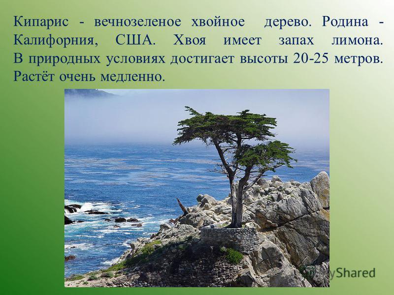 Кипарис - вечнозеленое хвойное дерево. Родина - Калифорния, США. Хвоя имеет запах лимона. В природных условиях достигает высоты 20-25 метров. Растёт очень медленно.